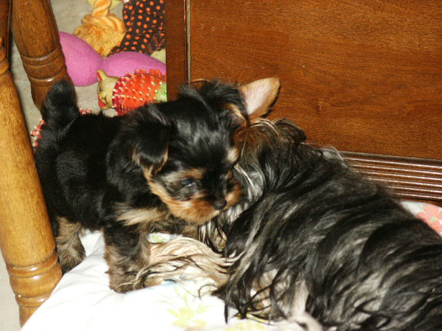 About Adanta Yorkshire Terriers